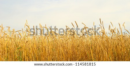 wheat field and blue sky - stock photo