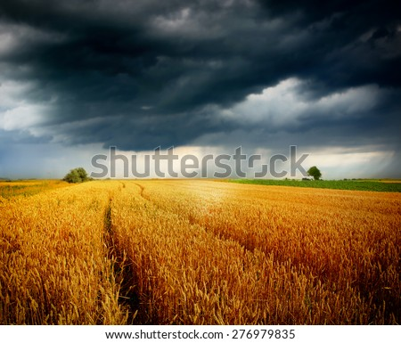 wheat field and blue sky with storm clouds - stock photo