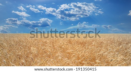 Wheat field and blue sky with sun. - stock photo