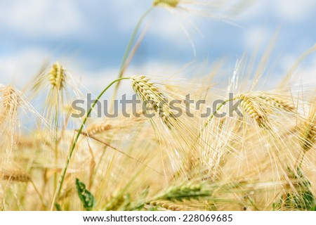 Wheat field and blue sky with white clouds  - stock photo