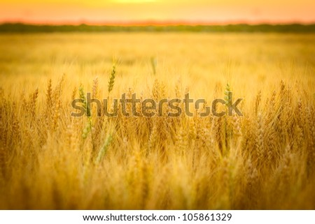 Wheat field and sun below the horizon - stock photo