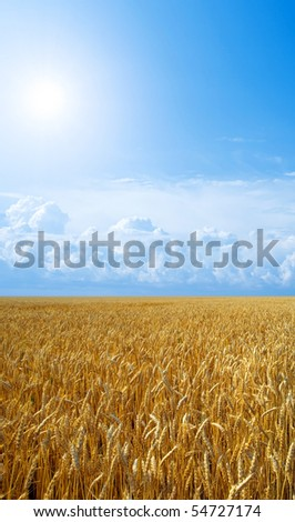 Wheat field and sun on blue sky background with white clouds.