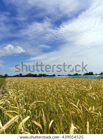 Wheat field and sunny day - stock photo