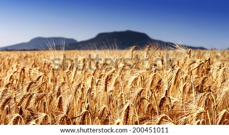Wheat field at extinct volcanoes, Hungary - stock photo