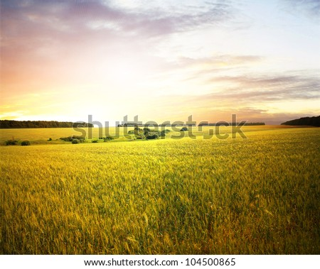 Wheat field at sunset - stock photo