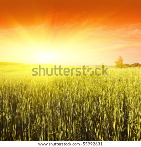 Wheat field at sunset. - stock photo