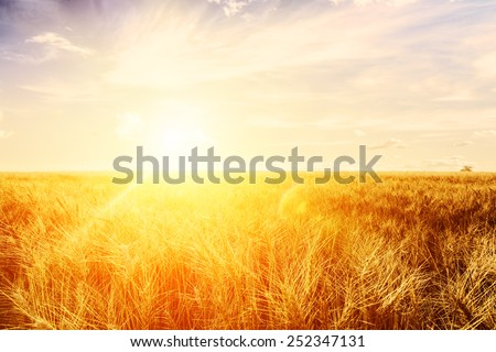 Wheat field at sunset. Ears closeup. The sunbeams.