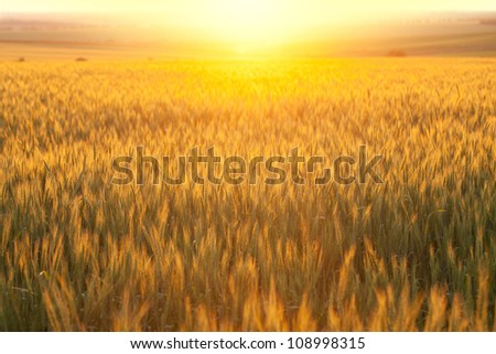 Wheat field at sunset hot summer day - stock photo