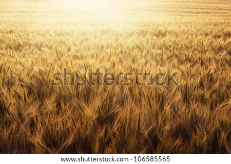 Wheat field at sunset nature background with copy space - stock photo