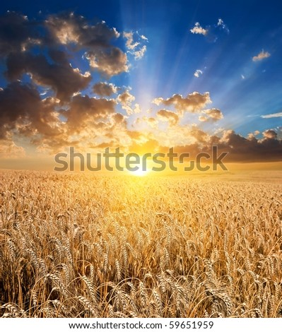wheat field at the majestic sunset