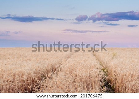 wheat field at the sunset. Country road in wheat field at sunset.