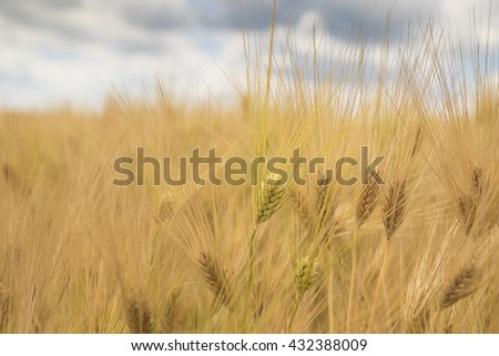 Wheat field, Barley field on sunny day selective fokus - stock photo