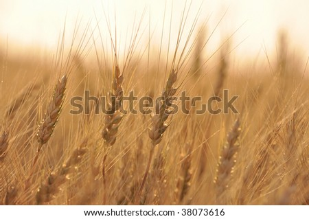 wheat field before harvest - stock photo