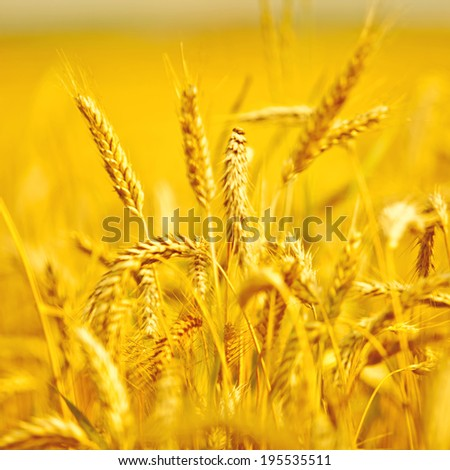 Wheat field, blurred