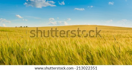 Wheat field by summertime. Panorama - stock photo