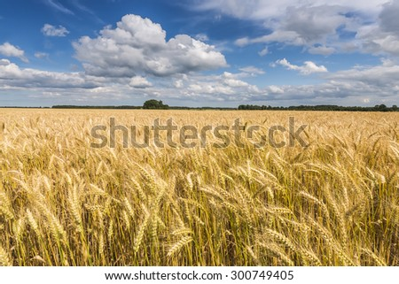 Wheat field by sunny summer day