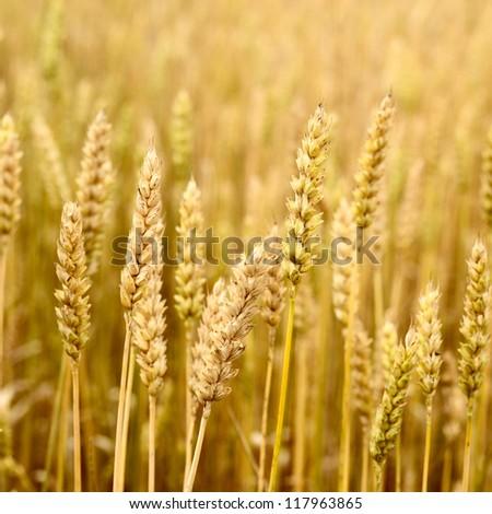 wheat field close-up - stock photo