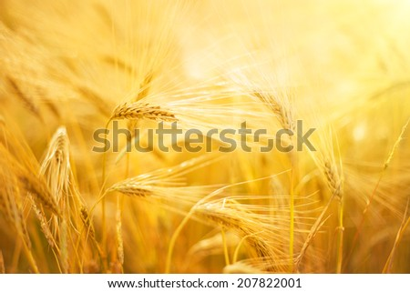 Wheat field close-up for your nature background. - stock photo
