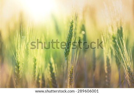 Wheat field, closeup shot