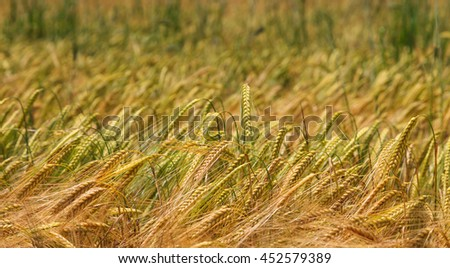 Wheat field closeup with depth of field