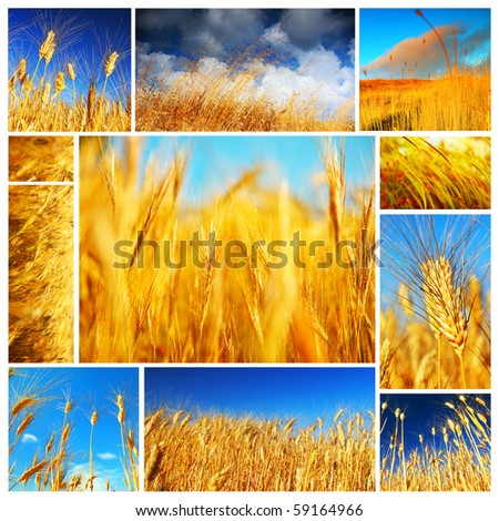 Wheat field collage conceptual collection of growth