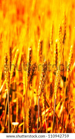 Wheat field detail in fire color