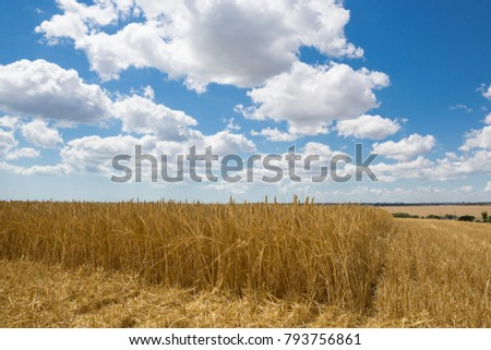 wheat field, ears of golden ripe wheat, harvesting, sloping wheat, general plan