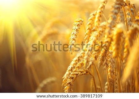 Wheat field. Ears of golden wheat close up. Beautiful Nature Sunset Landscape. Rural Scenery under Shining Sunlight. Background of ripening ears of meadow wheat field. Rich harvest Concept - stock photo
