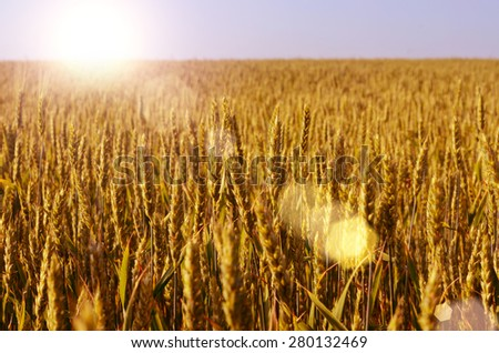 Wheat field evening time toned - stock photo