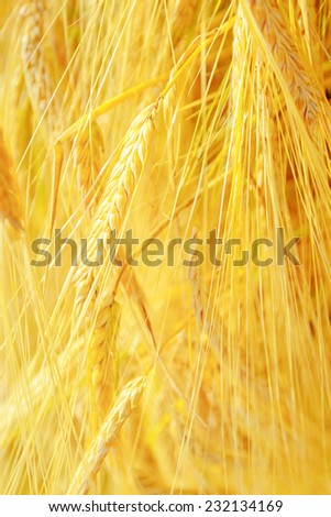wheat field, fresh crop of wheat - stock photo