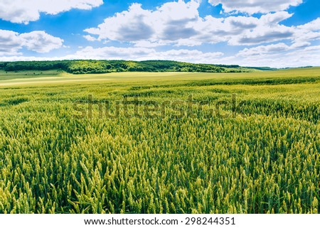 Wheat field . green field with ears of wheat in the summer - stock photo