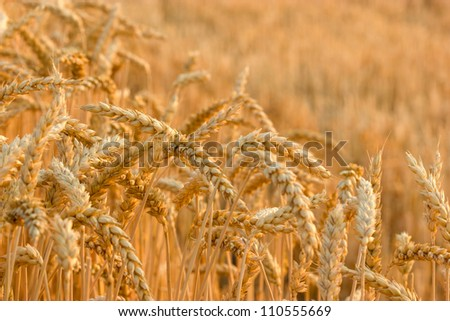 Wheat field illuminated by rays of the setting sun - stock photo