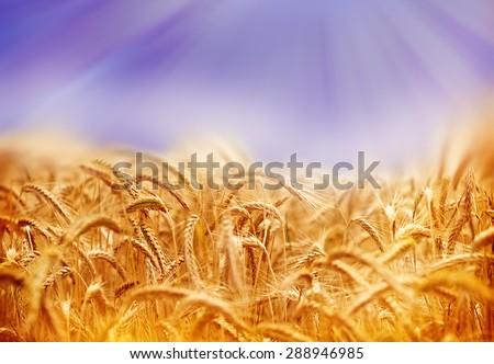 Wheat field illuminated by sun rays (sunbeams) - stock photo