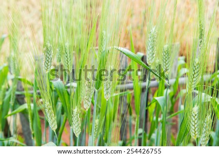 Wheat Field in Chiang Mai Royal Agricultural Research Centre Khun Wang, Thailand. - stock photo