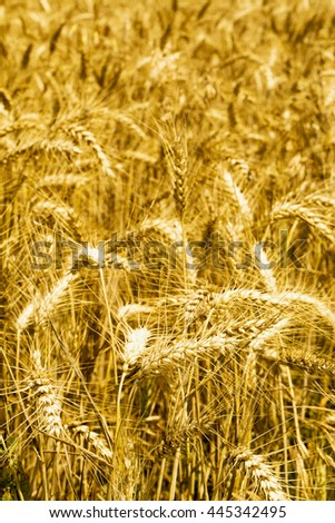Wheat field in close up, vertical image - stock photo