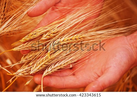 wheat field in Crimea, golden wheat in the hand - stock photo