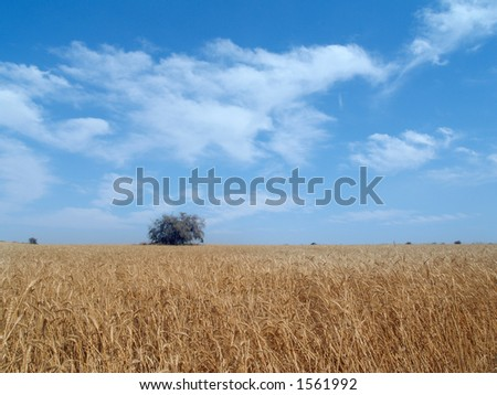 wheat field in Israel with place for text - stock photo