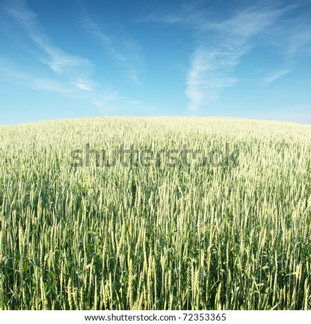 Wheat field in spring, in May