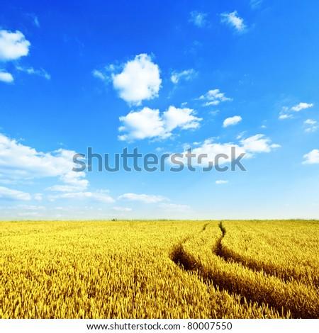 Wheat field in summer - stock photo