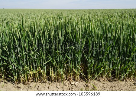 Wheat field in the summer. - stock photo