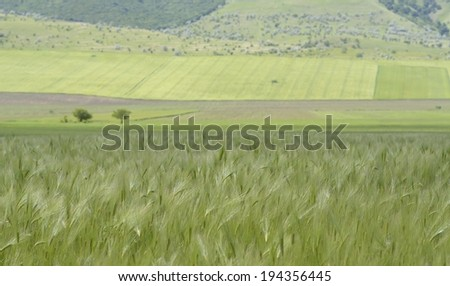 Wheat field in the summer