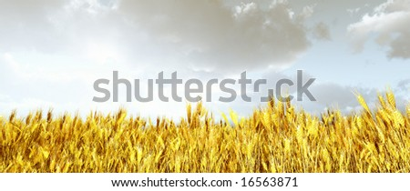 Wheat field in the sunset - stock photo