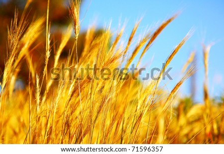 Wheat field landscape closeup image with selective focus - stock photo