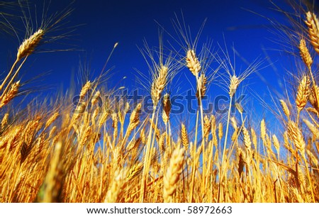 Wheat field landscape closeup on rye over blue sky