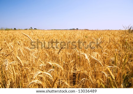 wheat field landscape image on a sunny day