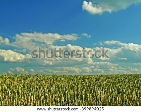 Wheat field landscape. Summer wheat field . Green wheat - cereal  field and blue sky. Landscape with green wheat field. Summer landscape and wheat field.  - stock photo