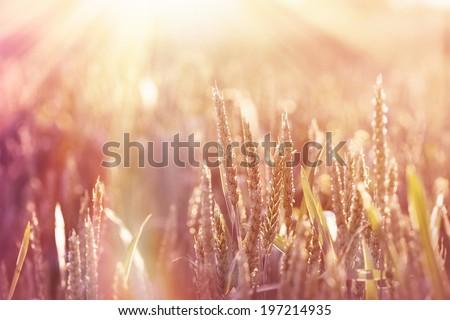 Wheat field lit by sunlight - stock photo