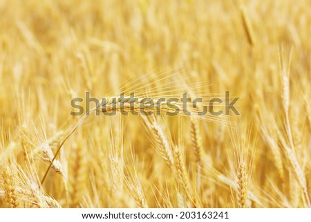 wheat field, natural summer or autumn background