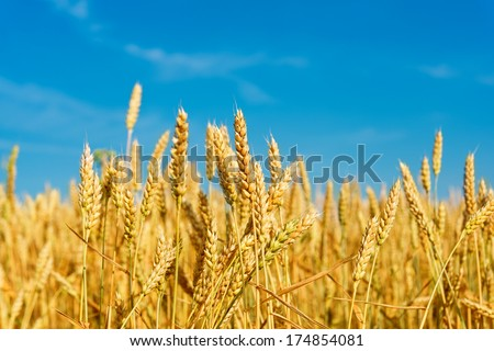 wheat field on a background of blue sky - stock photo