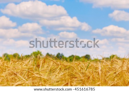 Wheat field on a blue sky background.. A fresh crop of rye.  Rich harvest Concept. Rural landscape under shining sunlight. Soft lighting effects. for the design. - stock photo